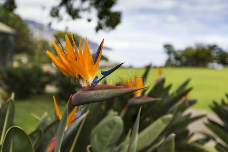 Strelitzia Reginae, en fågel av paradiset arkivfoton