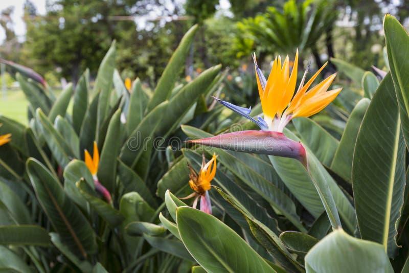 Strelitzia Reginae, en fågel av paradiset royaltyfria foton