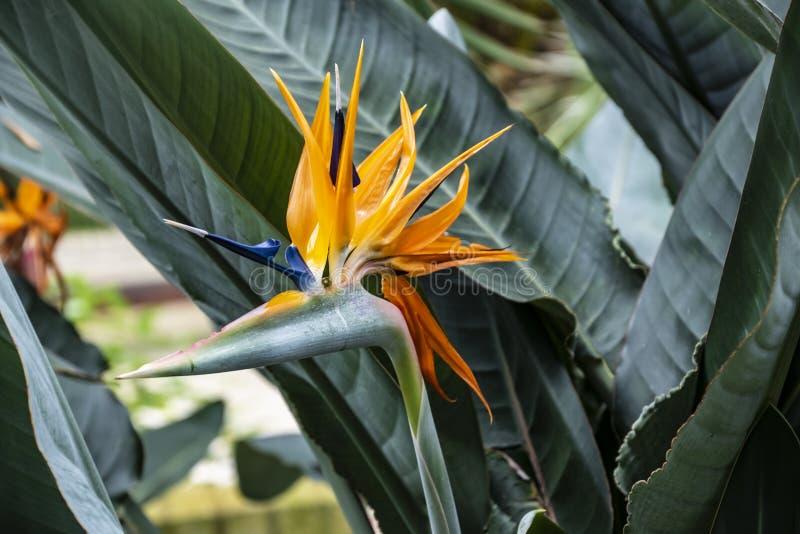 Strelitzia reginae exotische Anlage alias ein Paradiesvogel Blume oder Kranblume in einem tropischen Garten lizenzfreies stockbild