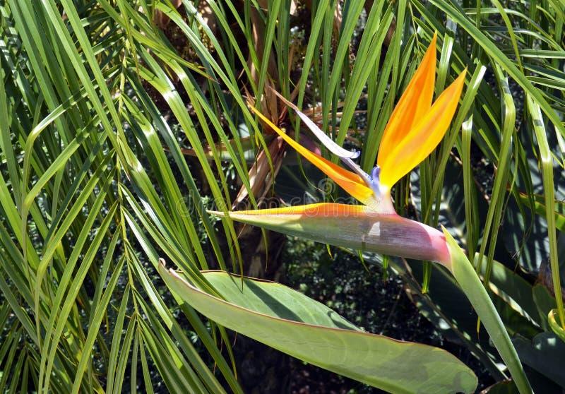 Strelitzia reginae exotische Anlage alias ein Paradiesvogel Blume oder Kranblume in einem tropischen Garten von Teneriffa, Kanari lizenzfreie stockfotografie