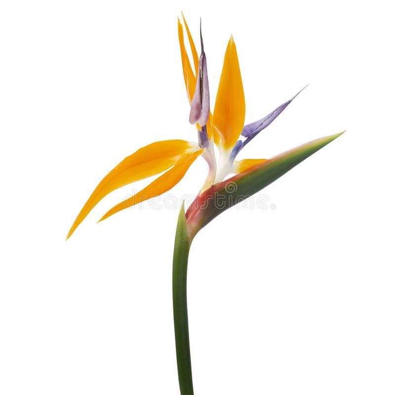 Free Strelitzia Reginae Flower, Bird Of Paradise Flower, Tropical Flower Isolated On White Background, With Clipping Path Royalty Free Stock Image - 160960456