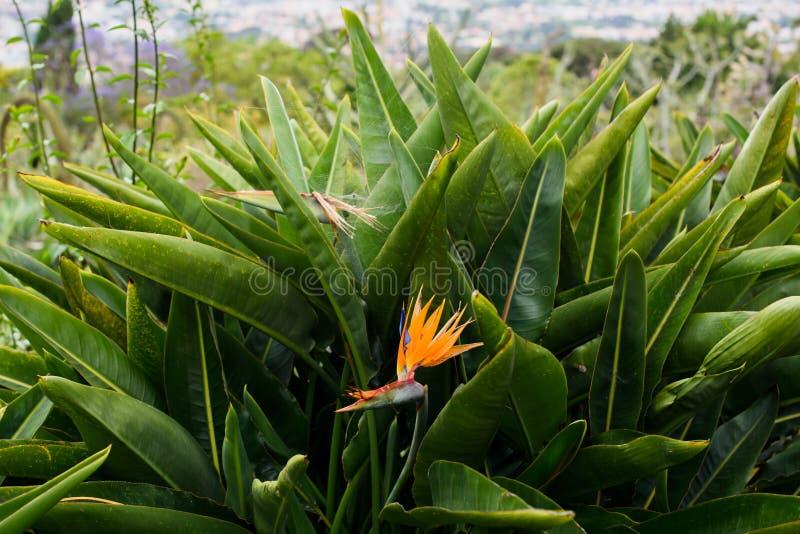 Strelitzia reginae flower. Crane flower. royalty free stock images