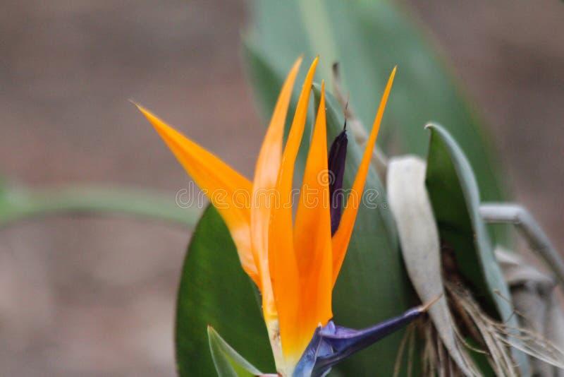 Strelitzia Reginae lub ptak raj roślina zdjęcia stock