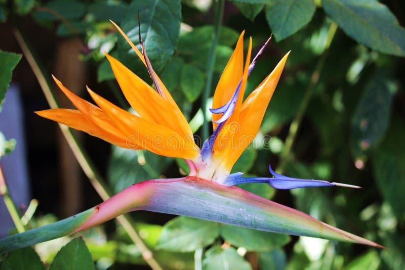 Strelitzia Reginae oder Paradiesvogel Anlage stockbilder