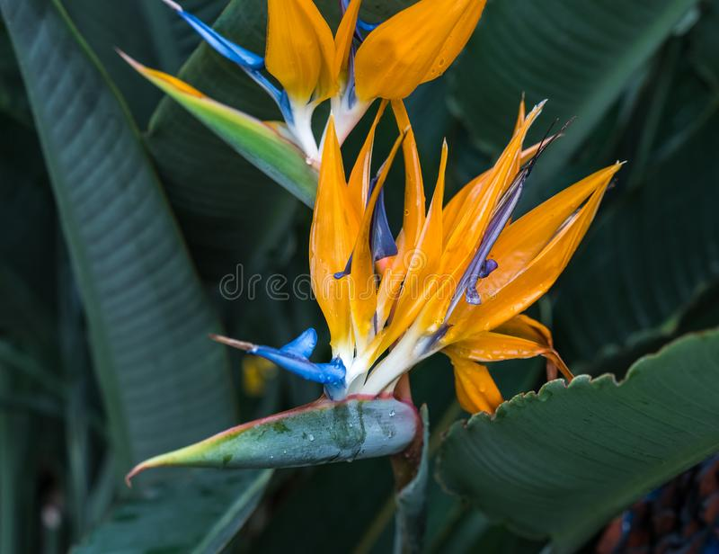 Strelitzia reginae, orange and blue bird of paradise flower royalty free stock photos