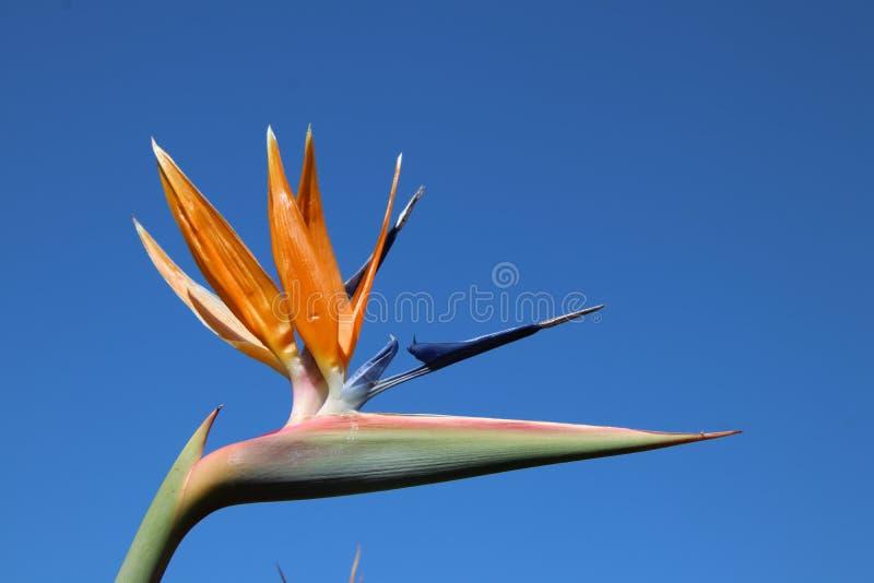 Strelitzia in zijn schoonheid en blauwe hemel stock fotografie