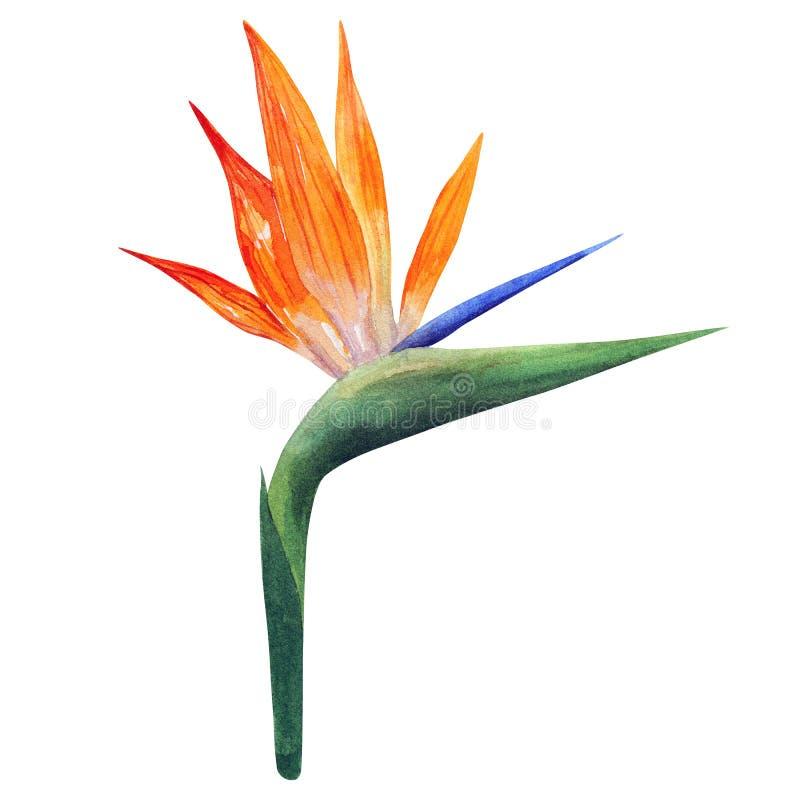 Strelizia Bello fiore variopinto arancio Illustrazione disegnata a mano dell'acquerello Isolato su priorit? bassa bianca royalty illustrazione gratis