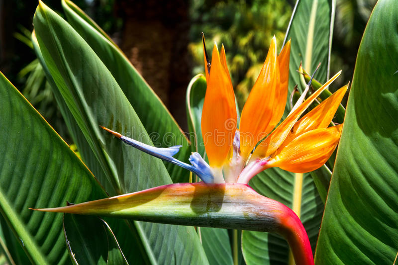 Strelizia del fiore Paradiso dell'uccello Tenerife, Isole Canarie fotografie stock libere da diritti