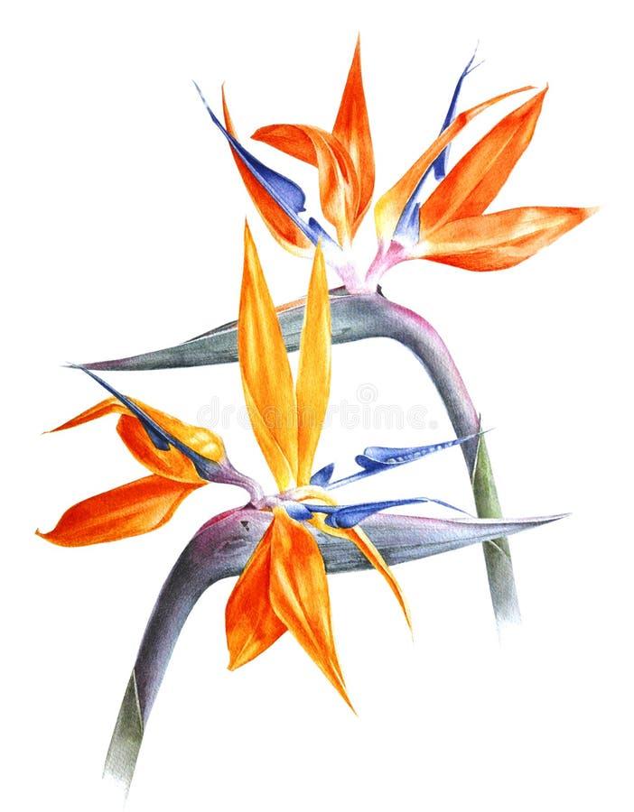 Strelizia dell'acquerello - uccello del paradiso - fiori illustrazione vettoriale
