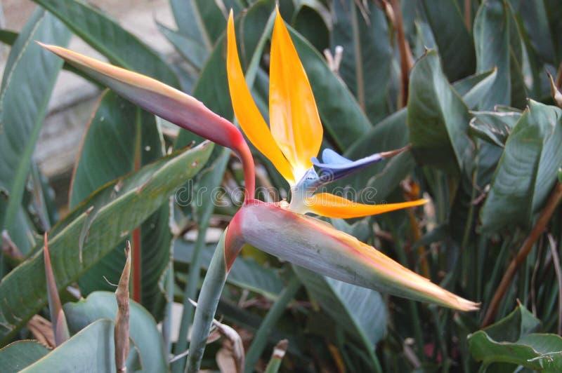 Strelizia mooie oranje en blauwe excotic bloem royalty-vrije stock foto's