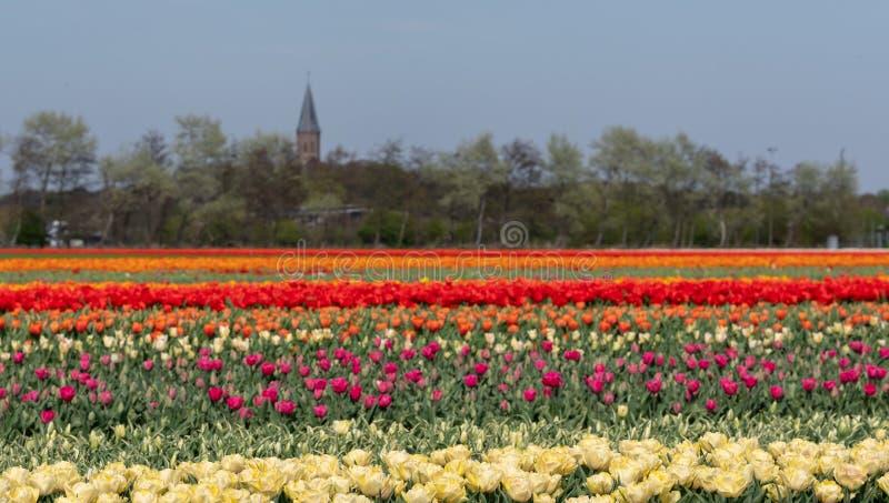 Strepen van kleur: kleurrijke tulpen die in rijen op een bloemgebied dichtbij Lisse, Nederland groeien royalty-vrije stock afbeeldingen