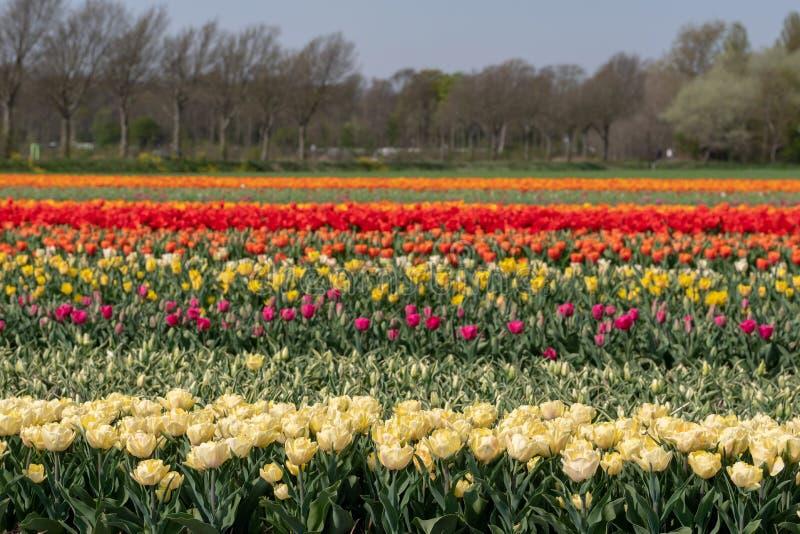 Strepen van kleur: kleurrijke tulpen die in rijen op een bloemgebied dichtbij Lisse, Nederland groeien royalty-vrije stock fotografie