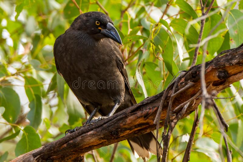 Strepera nero Fuliginosa Tasmania di Currawong immagine stock
