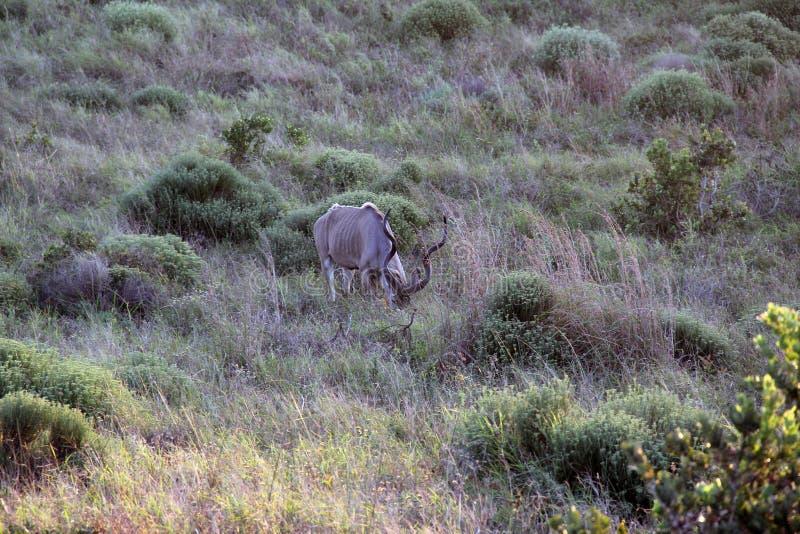 Strepsiceros мужское Kudu Koedoe Tragelaphus стоковое изображение rf