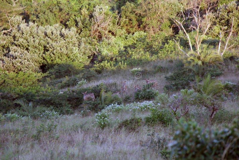 Strepsiceros Kudu Koedoe Tragelaphus стоковые изображения rf