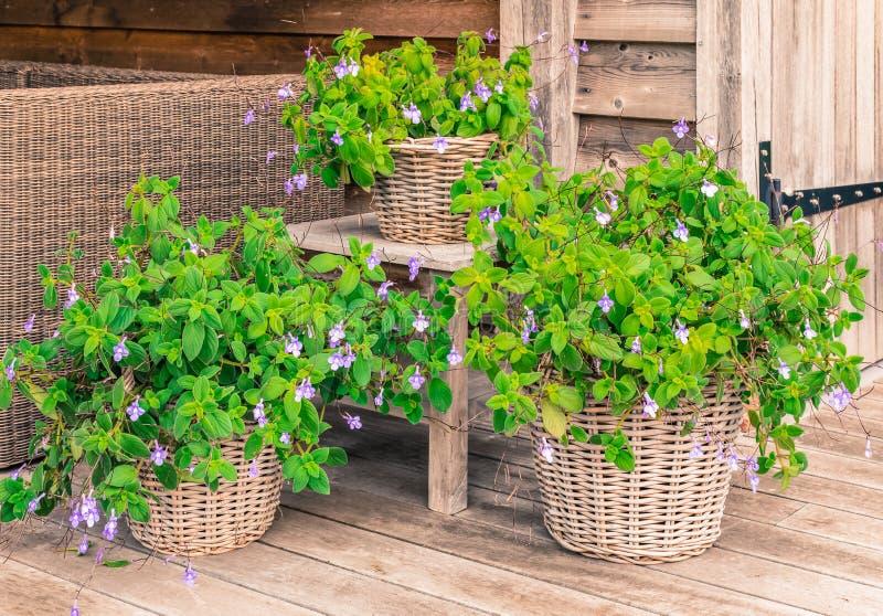 Streptocarpus стоковое изображение
