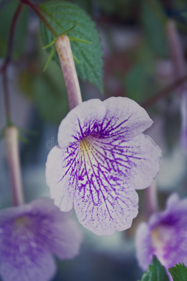 Achimenes purple flower. Achimenes purple home plant in bloom stock image