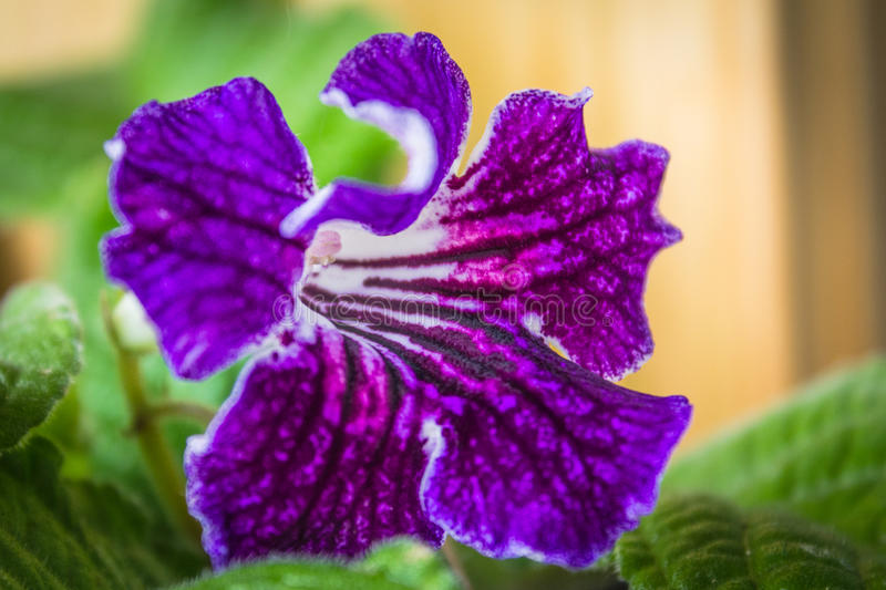 Streptocarpus flower. Streptocarpus/Cape Primrose in bloom royalty free stock image