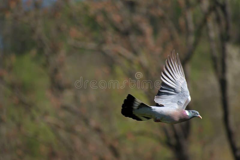 Streptopeliadecaoctofågeln flyger från redet i ett träd fotografering för bildbyråer