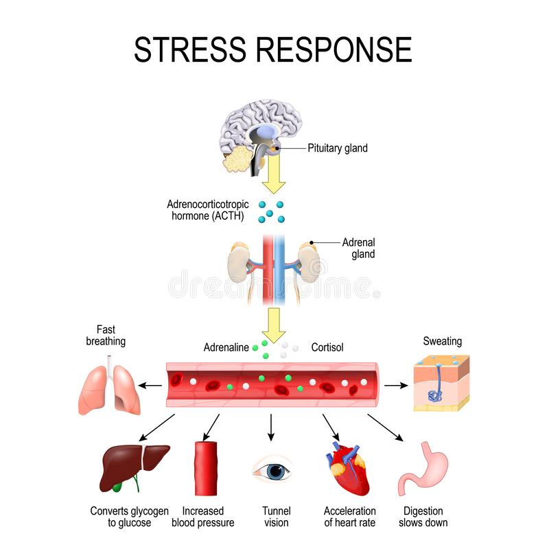 Free Stress Response. Activation Of The Stress System. Stress Is A Main Cause Of High Levels Of Adrenaline And Cortisol Secretion. Royalty Free Stock Image - 131438406