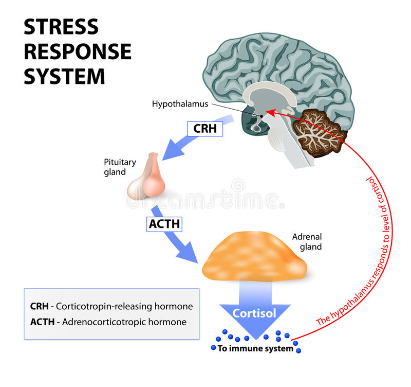 Stress Response System Stock Vector Illustration Of Acth 58557596