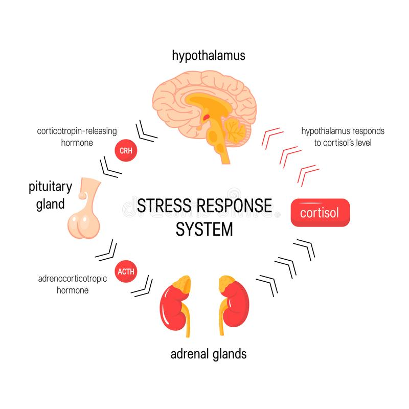 Stress response system. Vector endocrine medical diagram stock illustration