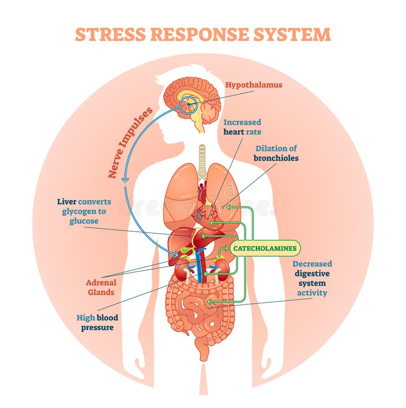 Stress response system vector illustration diagram, nerve impulses scheme. Educational medical information. stock image