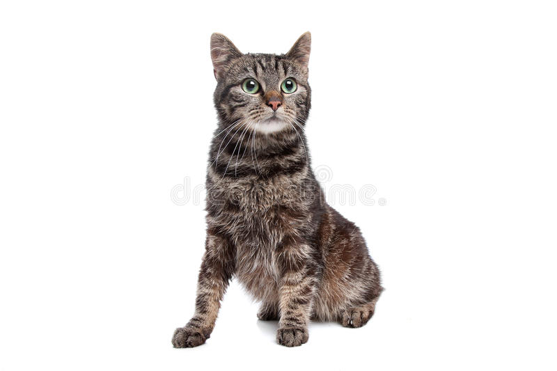 Stressed Cat Royalty Free Stock Photo