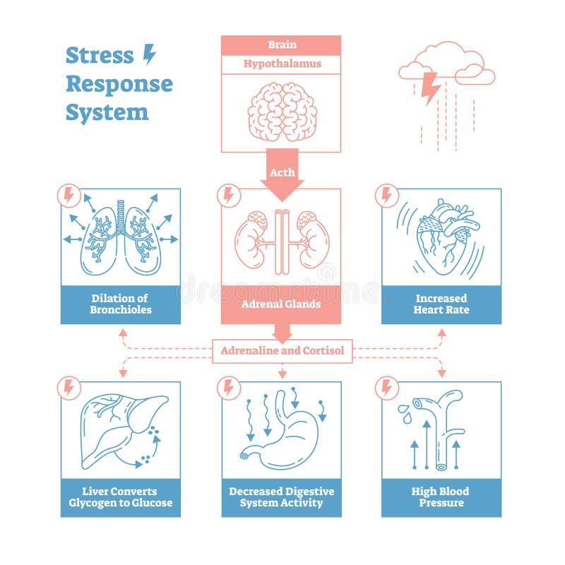 Stresuje się odpowiedź biologicznego systemu wektorowego ilustracyjnego diagram, anatomiczni nerwów bodzowie spiskuje Czyści kont royalty ilustracja