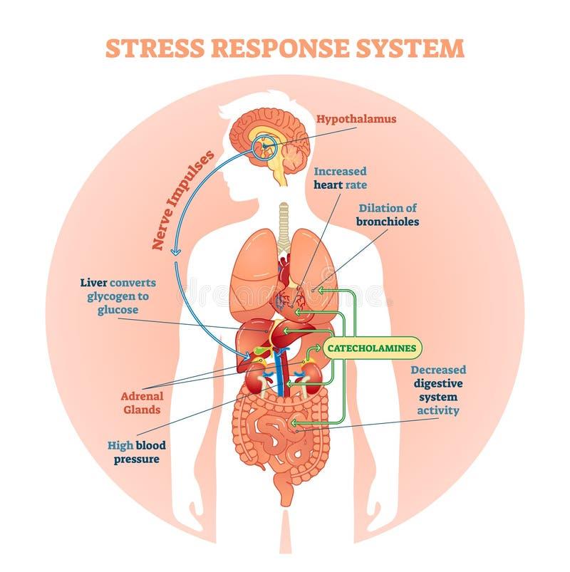 Stresuje się odpowiedź systemu wektorowego ilustracyjnego diagram, nerwów bodzowie spiskuje Edukacyjna medyczna informacja obraz stock