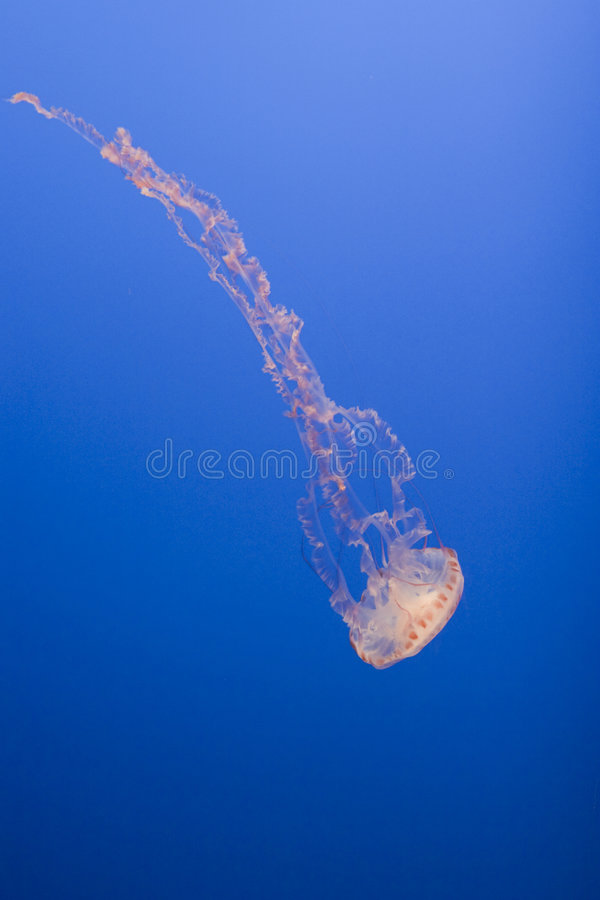 Stretched jellyfish royalty free stock photography