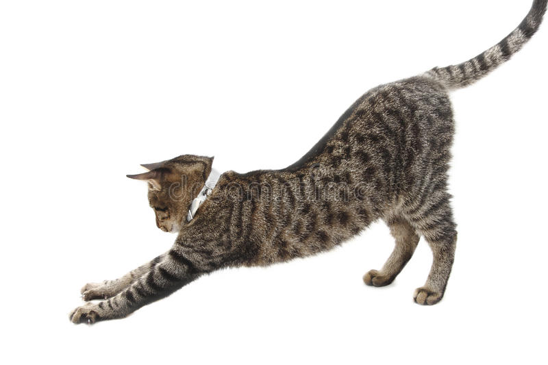Stretching cat. Stretching tabby cat isolated on white background