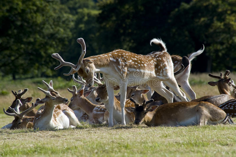 Stretching Deer stock photos