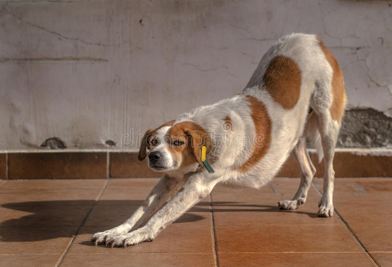 Stretching Dog. Street dog stretching, making eye contact with viewer royalty free stock photography