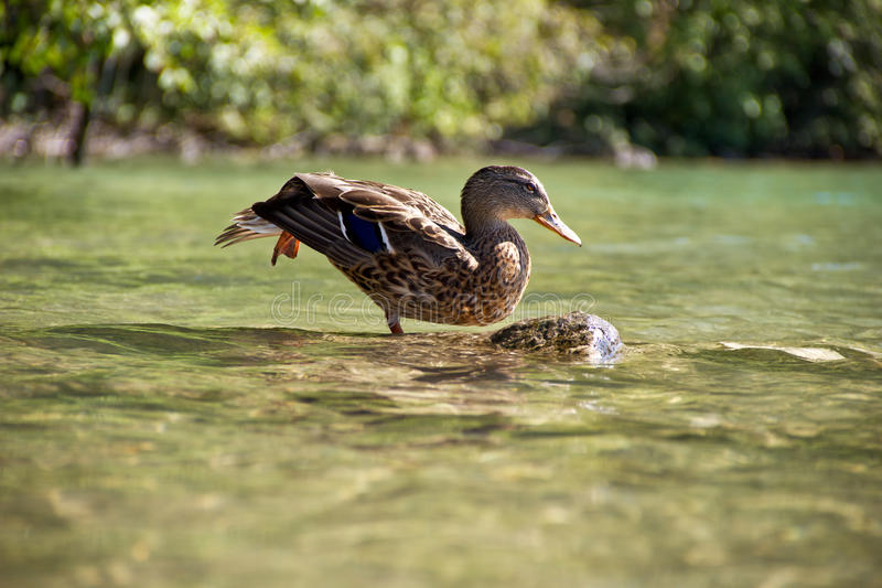 Download Stretching Ducks Royalty Free Stock Images - Image: 28368779