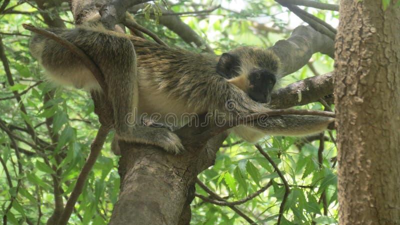 Stretching Monkey stock images