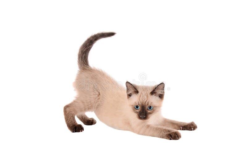 Stretching siemese kitten royalty free stock image