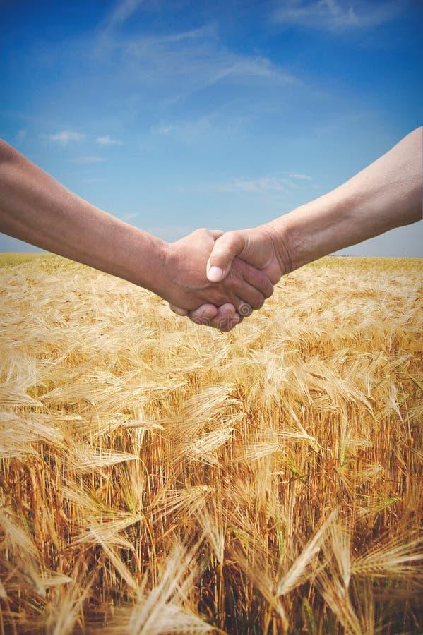 Stretta di mano degli agricoltori con il giacimento di grano nel tempo di raccolto immagini stock