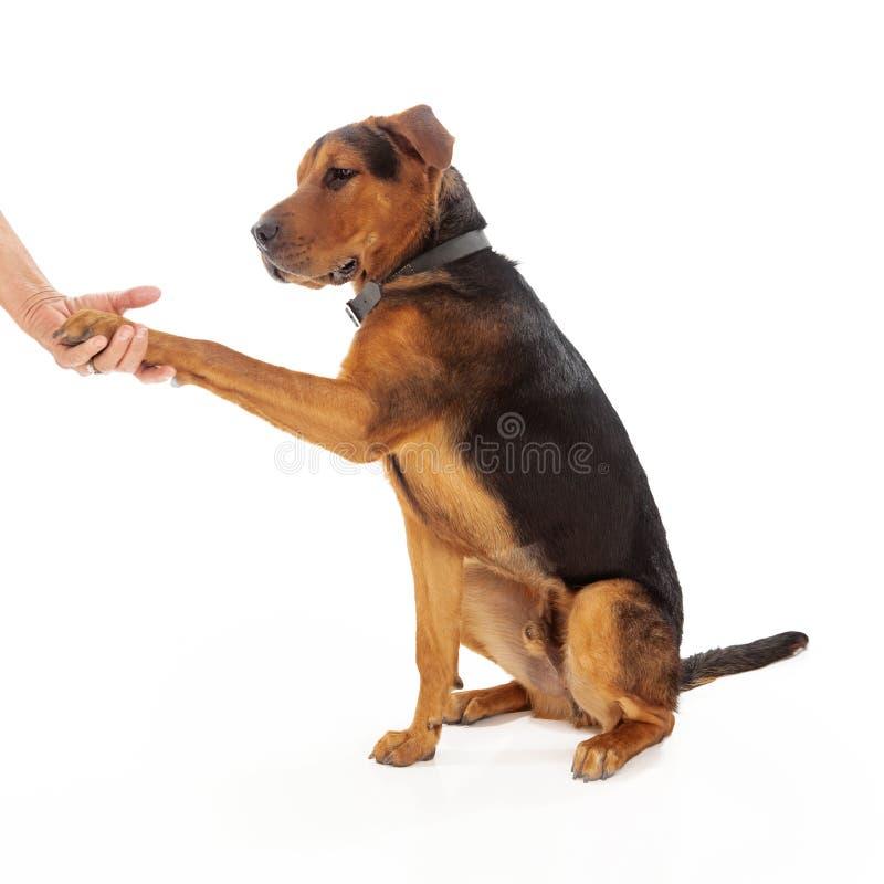 Stretta di mano di addestramento di cani fotografia stock libera da diritti