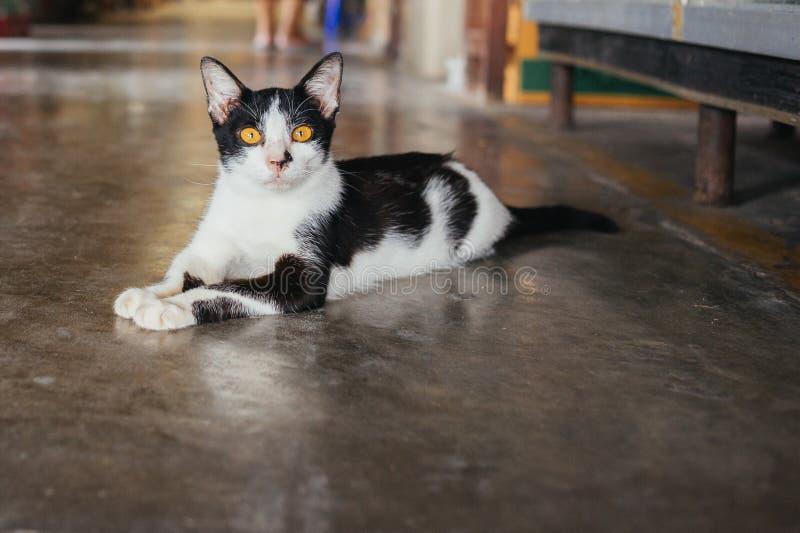 Streu-Asien-Katze stockfoto