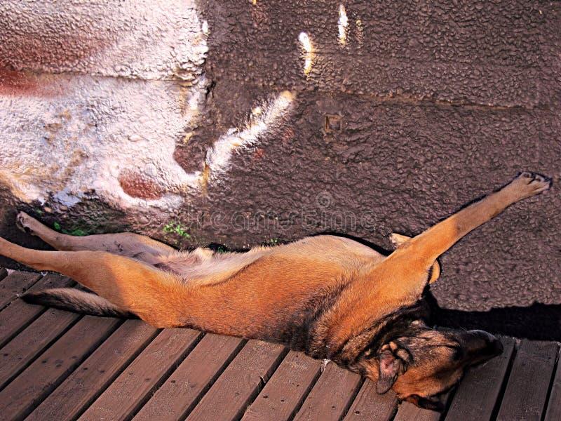 Streudeutscher Sheppard, der in einer merkwürdigen Position auf einem Strand schläft lizenzfreie stockbilder