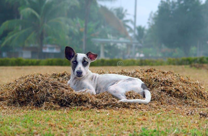 Streuhund im tropischen Dorf lizenzfreie stockfotografie