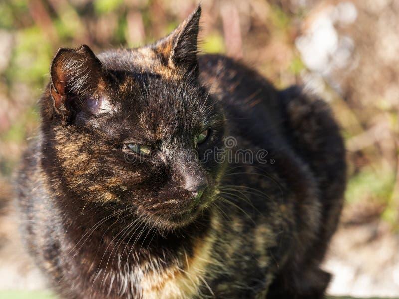 Streukatze der getigerten Katze mit einem heftigen Ohr, Porträt stockfoto