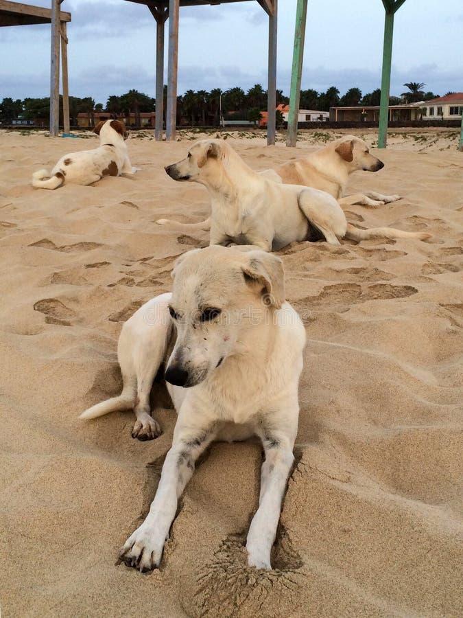 Streunende Hunde auf dem ilha Strand Cabo Verde tun Salz stockbild