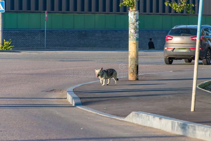 Streunender Hund auf der Straße unter Autos stockbild