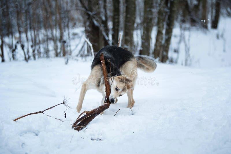 Streunender Hund, der auf der Stra?e lebt Bastard im Schnee stockfotos