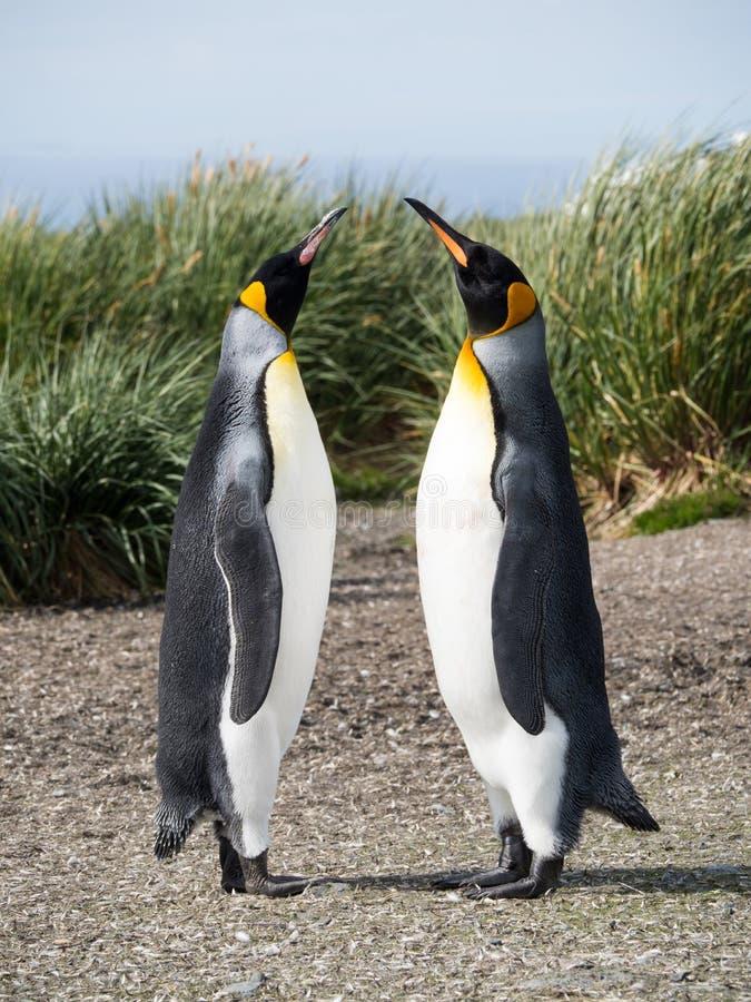 Strevende naar Koning Penguins stock afbeeldingen