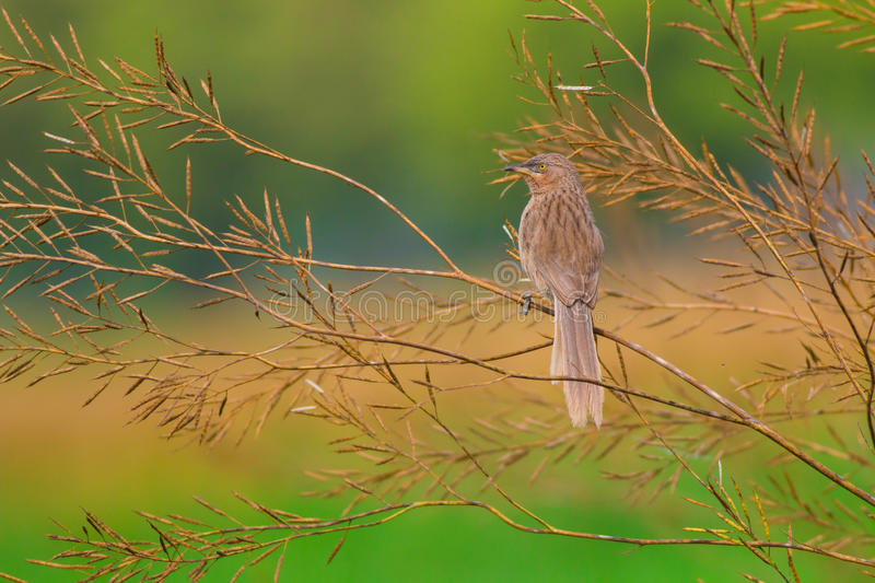 Striated babbler early morning stare stock images