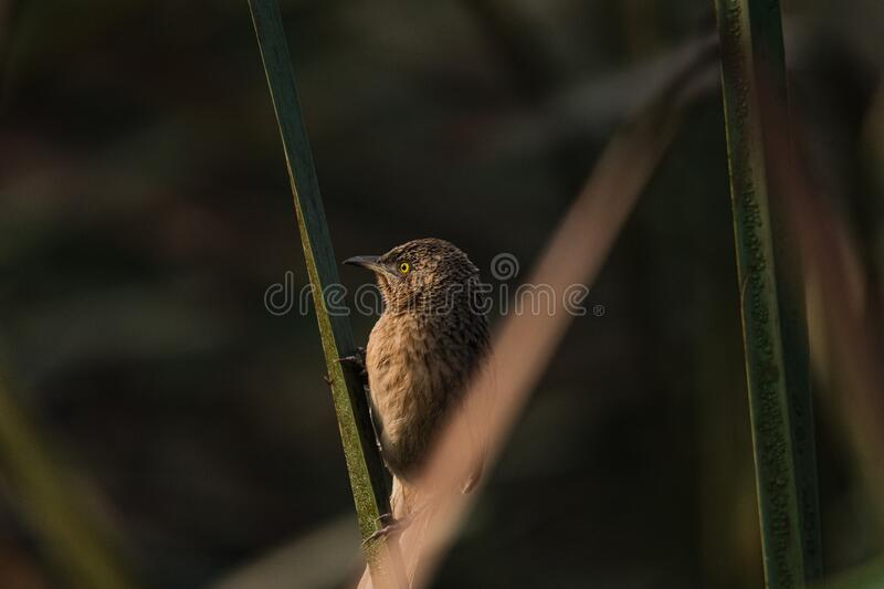Striated Babbler perched stock images