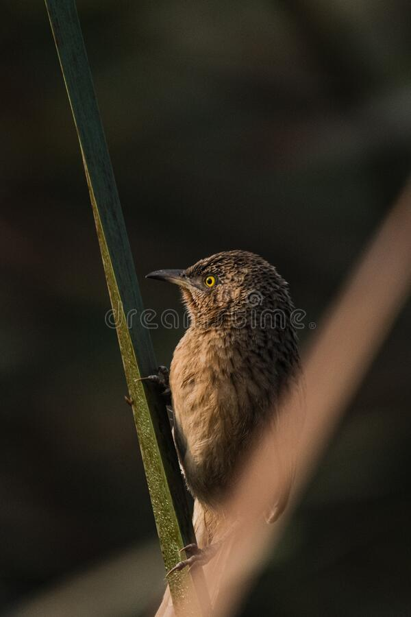 Striated Babbler perched stock image